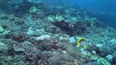 Blackbar butterflyfish swimming, Chaetodon melannotus, HD, UP22398 Stock Footage