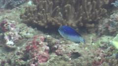 Australian damsel feeding, Pomacentrus australis, HD, UP22452 Stock Footage