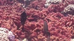 Brown surgeonfish feeding, Acanthurus nigrofuscus, HD, UP22481 Stock Footage