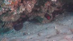 Stock Video Footage of Fish | Dottybacks | Queensland Dottyback | Medium Shot