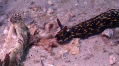 Yellow spot dark blue slug walking, Hypselodoris obscura, HD, UP22494 Stock Footage