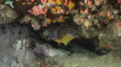 Black-tipped bullseye swimming, Pempheris affinis, HD, UP22534 Stock Footage