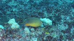 Coral Sea gregory feeding, Stegastes gascoynei, HD, UP22535 Stock Footage