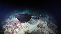 Black-blotched stingray swimming at night, Taeniura meyeni, HD, UP22585 Stock Footage