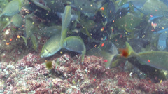 Dusky rabbitfish feeding and schooling, Siganus fuscescens, HD, UP22604 Stock Footage