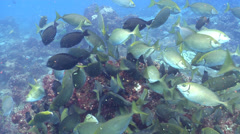 Dusky rabbitfish feeding and schooling, Siganus fuscescens, HD, UP22612 Stock Footage