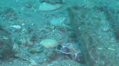 Slender wrasse swimming, Suezichthys gracilis, HD, UP22622 Stock Footage