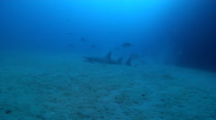 Giant guitarfish swimming, Rhynchobatus djiddensis, HD, UP22625 Stock Footage