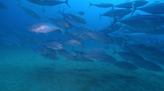 Bludger trevally swimming and schooling, Carangoides gymnostethus, HD, UP22626 Stock Footage
