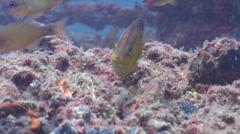 Juvenile Big-scale scalyfin feeding, Parma oligolepis, HD, UP22643 Stock Footage
