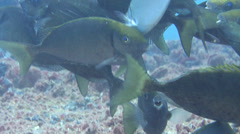 Cleaner wrasse cleaning and being cleaned and schooling, Labroides dimidiatus, Stock Footage