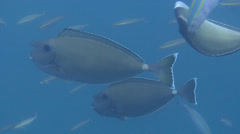 White margin unicornfish swimming and schooling, Naso annulatus, HD, UP22671 Stock Footage