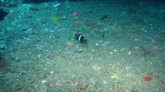 Girdled scalyfin swimming, Parma unifasciata, HD, UP22679 Stock Footage