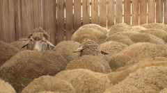 Sheep in a wooden cote - stock footage