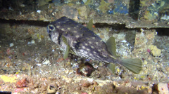 Three-bar porcupinefish swimming, Dicotylichthys punctulatus, HD, UP22742 Stock Footage