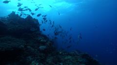 Silver drummer swimming and schooling on rocky reef, Kyphosus sydneyanus, HD, Stock Footage