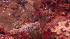 Sixstripe wrasse swimming, Pseudocheilinus hexataenia, HD, UP22752 Stock Footage