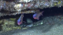 Leas cardinalfish swimming in cavern, Archamia leai, HD, UP22771 - stock footage
