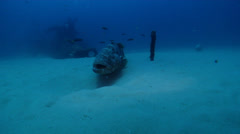 Malabar grouper on deep historic collapsed wreckage, Epinephelus malabaricus, Stock Footage