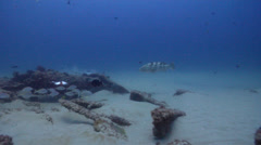 Black-blotched stingray feeding on deep historic collapsed wreckage, Taeniura Stock Footage