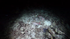 Yellow-banded snapper hunting at night, Lutjanus adetii, HD, UP22870 Stock Footage