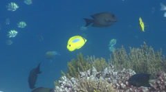 Bluespot butterflyfish swimming, Chaetodon plebeius, HD, UP22878 Stock Footage