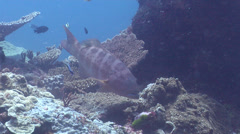 Cleaner wrasse cleaning and being cleaned on cleaning station, Labroides Stock Footage