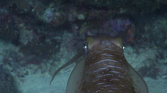 Reef squid hovering at night, Sepioteuthis lessoniana, HD, UP22913 Stock Footage