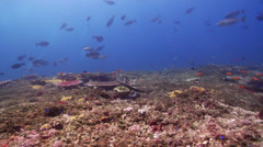 Olive sea snake swimming on shallow coral reef, Aipysurus laevis, HD, UP22989 Stock Footage