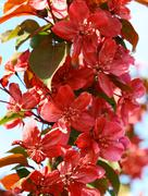 red spring flowers blossom - stock photo