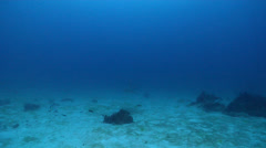 East Australian shovelnose ray swimming on deep coral reef, Aptychotrema Stock Footage