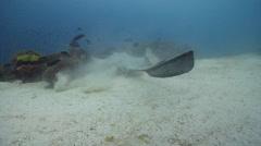 Cowtail stingray swimming, Pastinachus sephen, HD, UP23039 Stock Footage