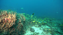 Ocean scenery lots of snappers, barred soapfish, on deep coral reef, HD, UP23062 Stock Footage