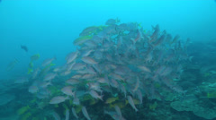 Yellowfin goatfish swimming and schooling on deep coral reef, Mulloidichthys Stock Footage