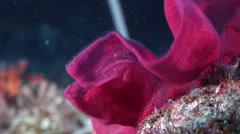Eggs Spanish dancer gestating, Hexabranchus sanguineus, HD, UP23114 Stock Footage