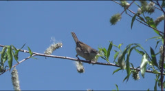 Chiffchaff on branch collects fluff Stock Footage