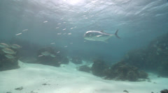 Giant trevally swimming in lagoon, Caranx ignobilis, HD, UP23126 - stock footage