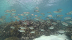 Lined rabbitfish swimming and schooling in lagoon, Siganus lineatus, HD, UP23127 - stock footage