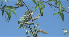 Chiffchaff on branch sings Stock Footage