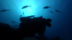 Ocean scenery trevally hunting and chasing planktivores around coral head, on Stock Footage
