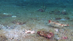 Flying gurnard hunting on muck, Dactyloptena orientalis, HD, UP23349 Stock Footage