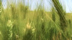 Green wheat close up Stock Footage