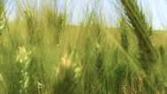 Stock Video Footage of green wheat close up