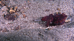 Flamboyant cuttlefish hunting on muck, Metasepia pfefferi, HD, UP23400 Stock Footage