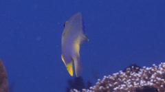 Golden damsel swimming on shallow coral reef, Amblyglyphidodon aureus, HD, Stock Footage