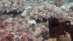Mimic filefish courting on muck, Paraluteres prionurus, HD, UP23433 Stock Footage