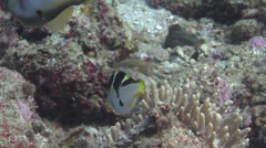 Mimic filefish courting on shallow coral reef, Paraluteres prionurus, HD, Stock Footage