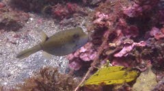 Intermediate Yellow boxfish swimming on muck, Ostracion cubicus, HD, UP23453 Stock Footage