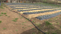 Irrigation pipe for strawberries Stock Footage