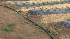 Irrigation system for strawberries Stock Footage